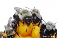 Bumblebees 2