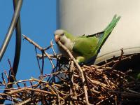 Pesky Parrot