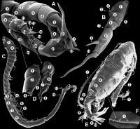 <i>Diaptomidae</i>