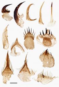Ottoia Teeth