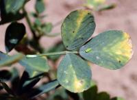 Leafhopper and Alfalfa