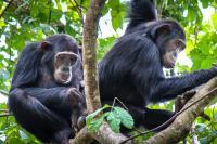 Female Bonding, Chimpanzee-Style
