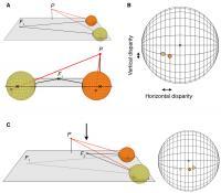 Human 3-D Vision Adapts to Natural Environment