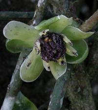 Austrobaileya Flower