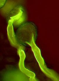 Pollen Tubes