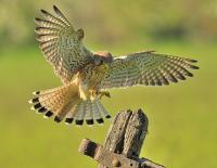 A Landing Kestrel