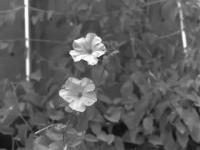 Petunia Oscillating in Natural Wind