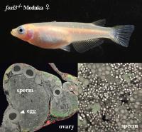 Female Medaka Lacking foxl3 Genes Showing Standard Female Body Shape