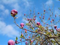 Magnolia Tree Harbors Anti-Cancer Compound