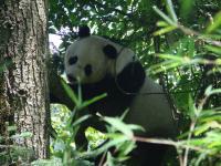 Wild Panda (1 of 3)