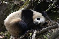 Wild Panda (2 of 3)
