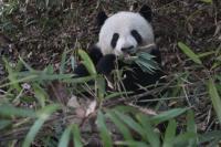 Wild Panda (3 of 3)