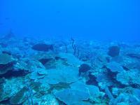 Deep Coral Reefs of the Grammanik Bank, St. Thomas, US Virgin Islands