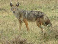 <em>Canis anthus</em>