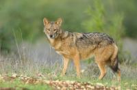 <em>Canis aureus</em>