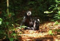Bonobos Resting