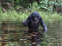Video of Wild Bonobos Peeping while Feeding
