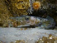 Antarctic Dragonfish