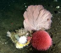 Deep-Water Corals