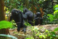 Bonobo (1 of 3)