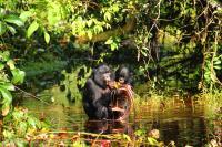 Bonobo (2 of 3)