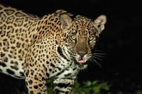Jaguar, <I>Panthera onca</I>