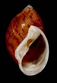 <i>Plekocheilus cecepeus</i>