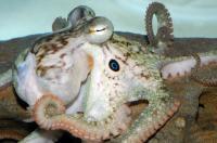California 2-spot Octopus <em>Octopus bimaculoides</em>