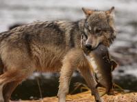 Wolf Hunting Salmon