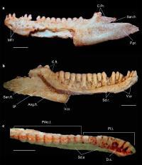 <i>Gueragama</i> Holotype