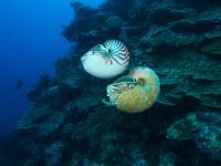 <i>Nautilus pompilius</i> and <i>Allonautilus scrobiculatus</i>