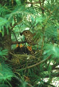 Life Histories May Explain Songbird Paradox (1 of 2)