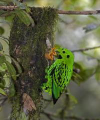 Life Histories May Explain Songbird Paradox (2 of 2)