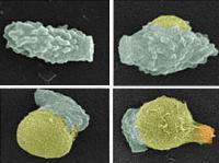 <i>Cryptococcus</i> Germination