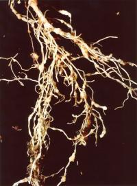 Root-Knot Nematode Damage