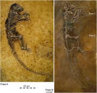 Radiograph of <I>Darwinius</I>