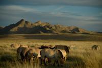 Reintroduced Przewalski's Horses