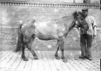 Mongolian Horse Emgl1