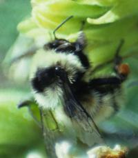 Queen Bumble Bee (3 of 3)