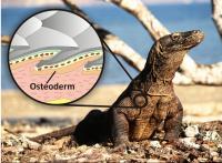 Giant Killer Lizard Fossil Shines New Light on Early Australians (2 of 2)