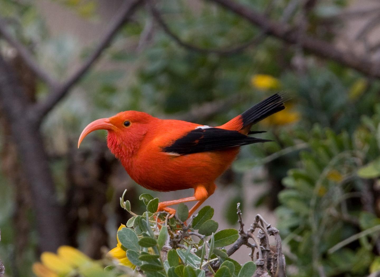 Rare Species Of Birds Hawaii's ra...