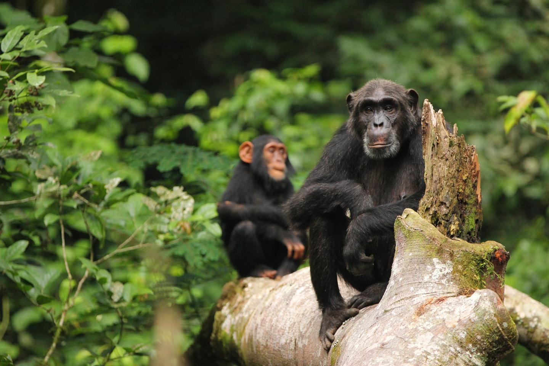 Humans' close relatives, chimps and bonobos, were kissing cousins