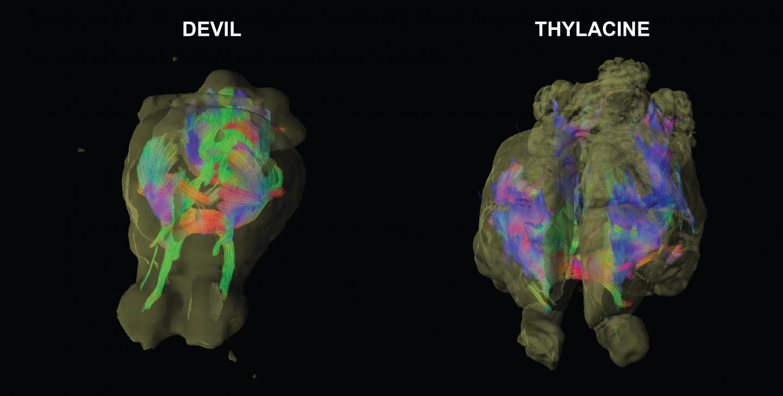 Neuro-imaging maps brain wiring of extinct Tasmanian tiger