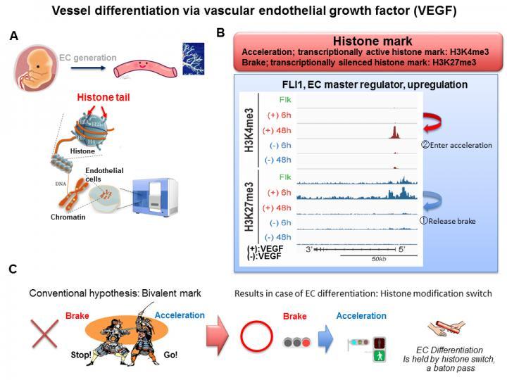 IMAGE  - 141097 web - Epigenetic program leading to vessel differentiation