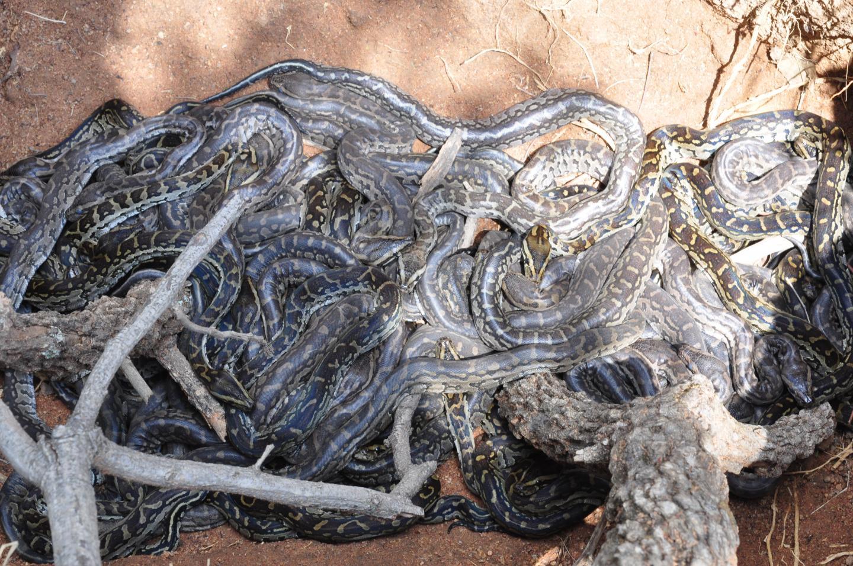 ular sanca Afrika Selatan
