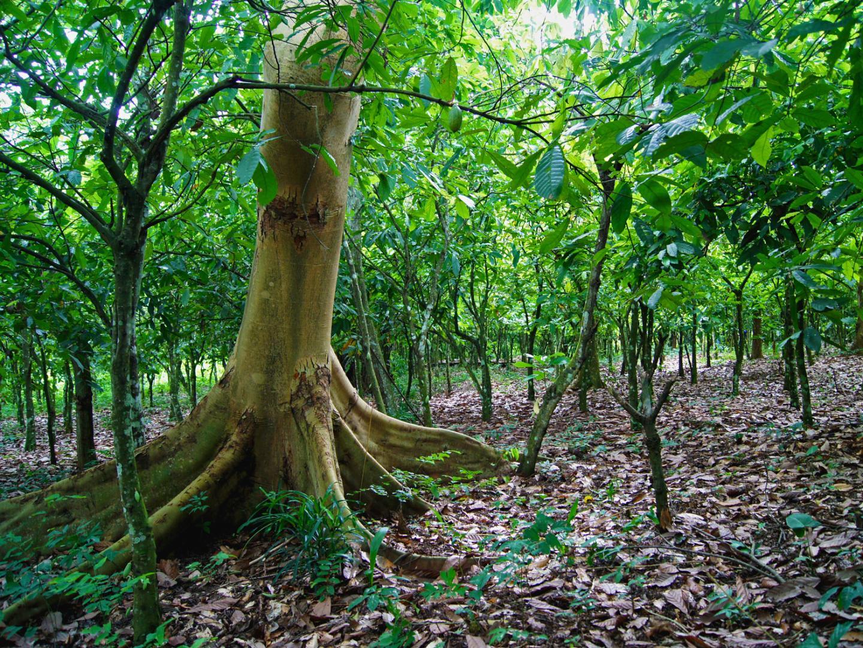 Optimum shade for cocoa