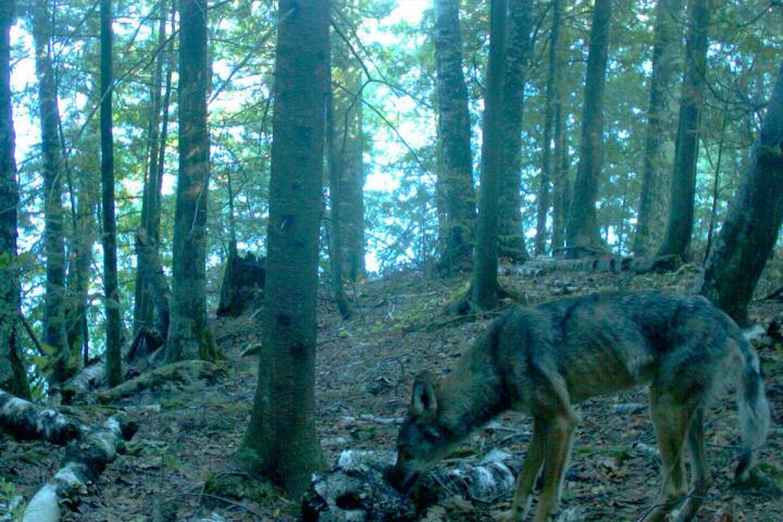 Camera Trap Study Reveals the Hidden Lives of Island Carnivores