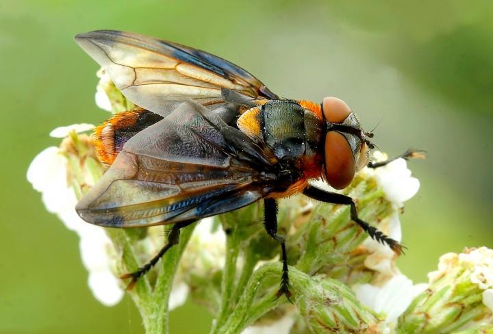 The tachinid fly (Phasia hemiptera).
