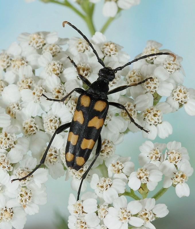 Four-banded longhorn beetle (Leptura quadrifasciata).