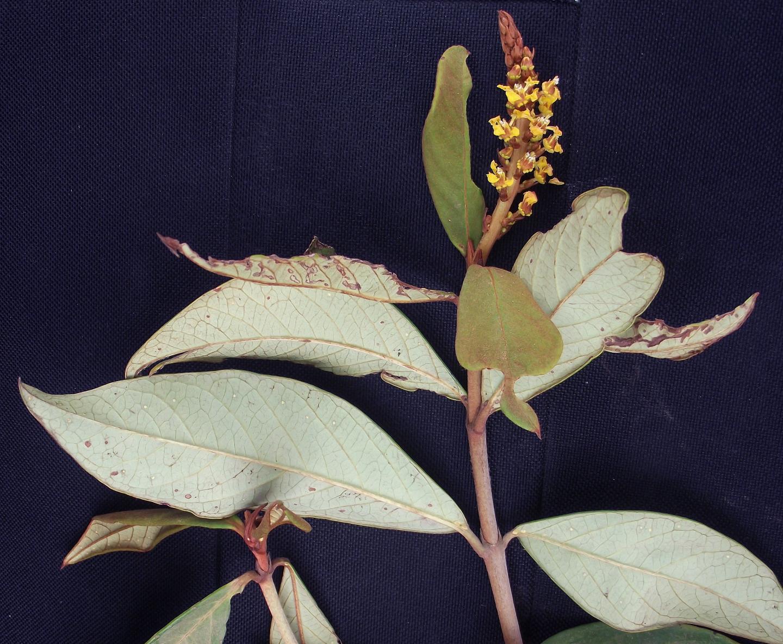 Mcvaughia sergipana -- another representative of the small endemic genus.